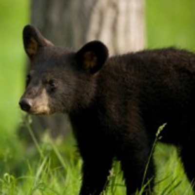Black Bears Can Be Impacted By Acid Rain